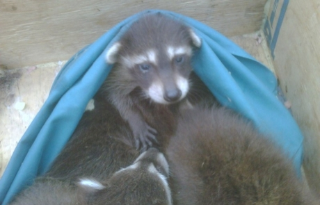 Baby raccoons removed from attic
