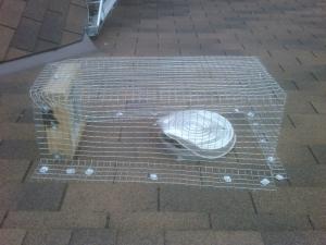Raccoon 1-way door box screen