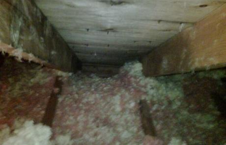 Raccoon nesting site in attic