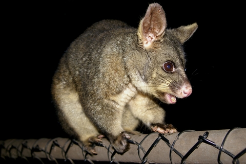 4 Reasons Why Possum Control is Important - Regional