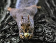 Nuisance Squirrel Removal