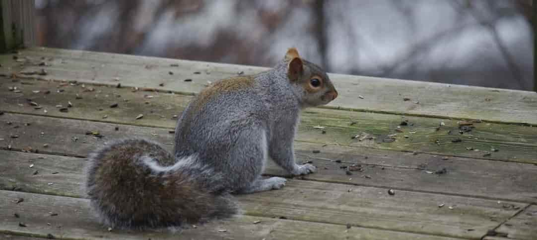 Squirrels Nuisance Control Southern Ontario