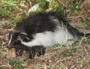 Nuisance Skunk Removal