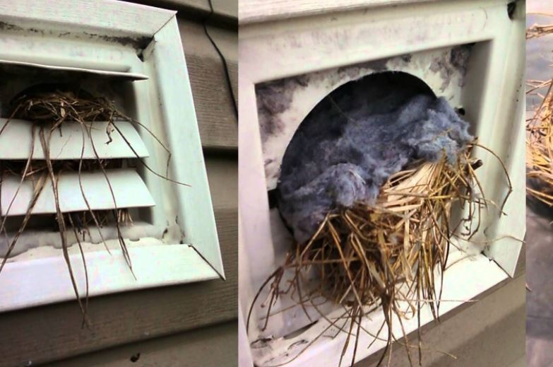 Bird Removal from Dryer Vent