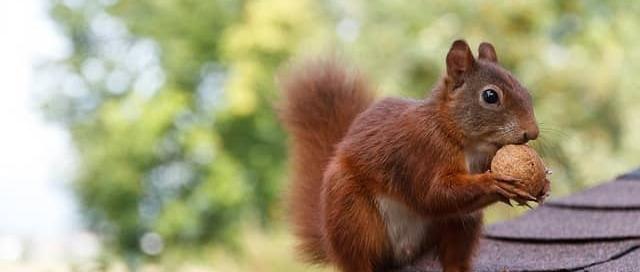 Squirrels in Attic Burlington-Oakville Halton