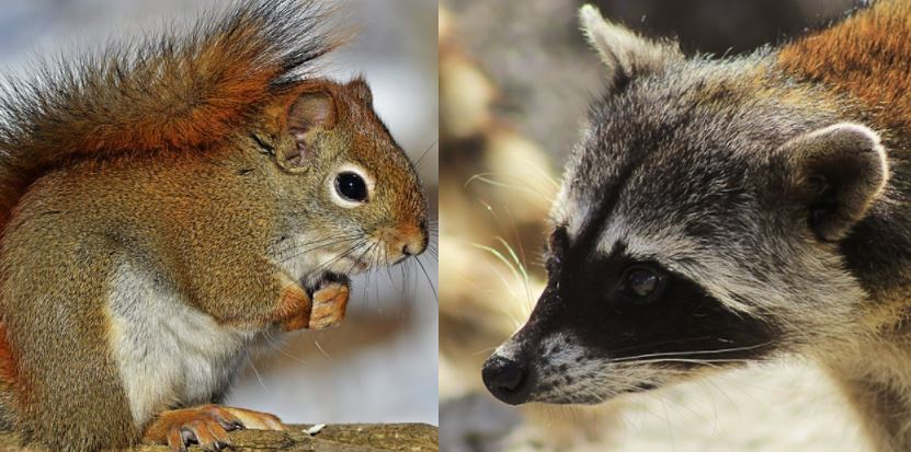 Squirrel vs Raccoon