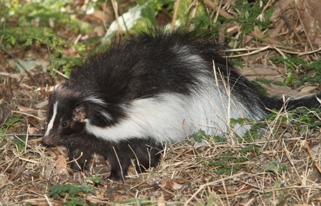 hooded-skunk-1591311_640