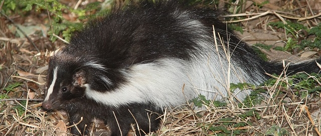 Skunk Under Deck Removal