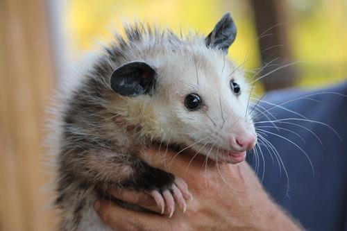 Opossum Control Removal