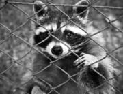 Deter Raccoons
