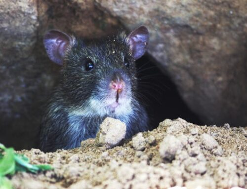 If Mice Live in Your Attic – Does anybody Hear?