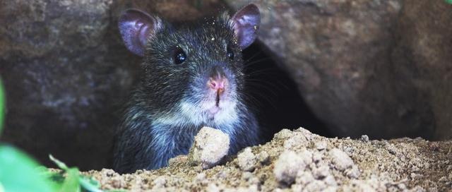 Mice in Attic Removal