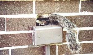 Squirrel Removal Service Burlington Oakville Waterdown
