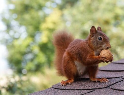 Signs You Have Squirrels in Your Attic (and Why You Need to Remove them Fast)