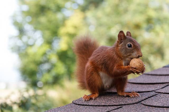 Squirrels in Attic Burlington-Oakville Halton