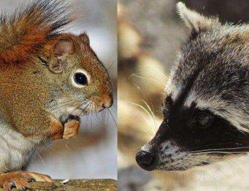 Squirrels vs. Raccoons: Whats the Bigger Threat?