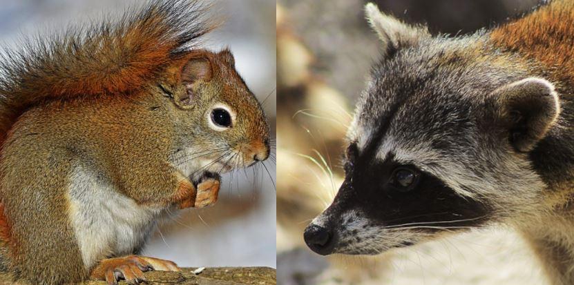 Squirrel vs Raccoon