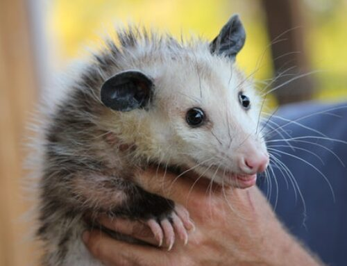 Opossums. Pesky Pests that are Tough to Get Rid Of! Here's Why