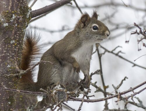 Squirrel Baby Season in Ontario – Prepare to Prevent Entry!